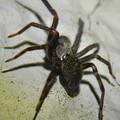 Photos: 脚に赤いラインがある黒い蜘蛛 - 5