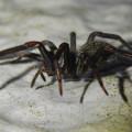 Photos: 脚に赤いラインがある黒い蜘蛛 - 7