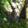 西高森山にいた鳥(トラツグミ?) - 1