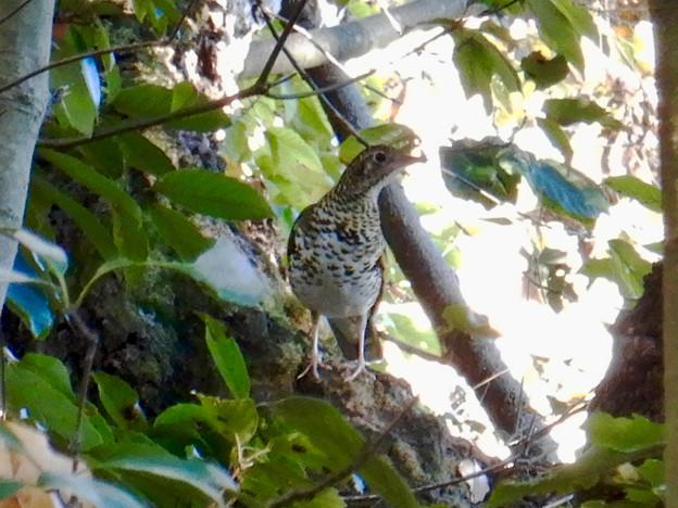 西高森山にいた鳥(トラツグミ?) - 2