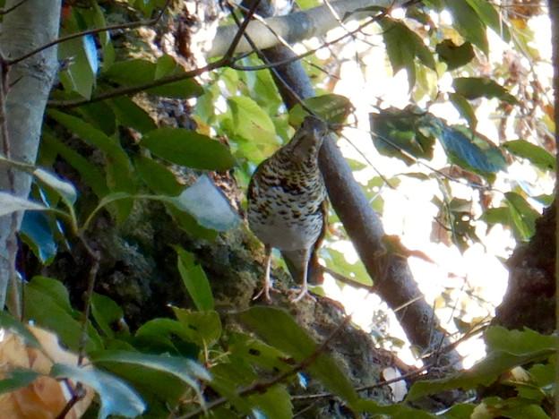 西高森山にいた鳥(トラツグミ?) - 3