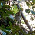 Photos: 西高森山にいた鳥(トラツグミ?) - 3