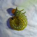 Photos: ルリチュウレンジの幼虫? - 3