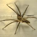 Photos: 小さい筋だらけの蜘蛛 - 1