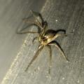 Photos: 小さい筋だらけの蜘蛛 - 2