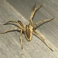 Photos: 小さい筋だらけの蜘蛛 - 3