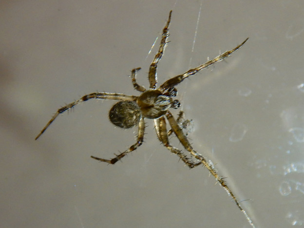 Photos: コンビニにいた蜘蛛 - 1