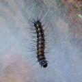 Photos: 木又の間に張られた蜘蛛の巣?と毛虫 - 5
