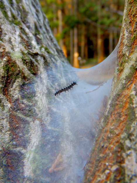 Photos: 木又の間に張られた蜘蛛の巣?と毛虫 - 6
