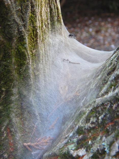 木又の間に張られた蜘蛛の巣?と毛虫 - 1