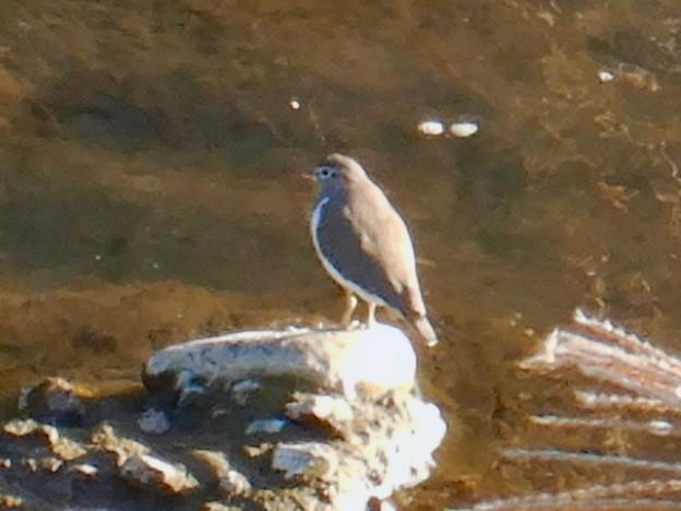 Photos: 八田川にいた鳥(イソシギ?) - 3