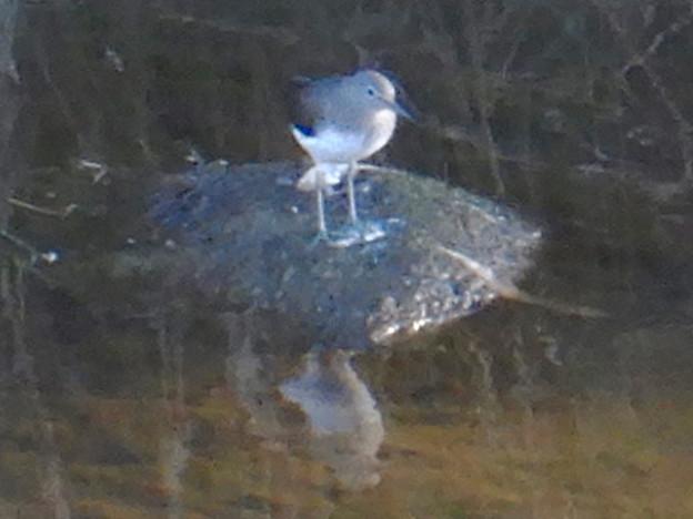 八田川にいた鳥(イソシギ?) - 6