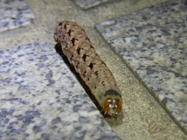 地面を歩いてた強面のイモムシ - 5