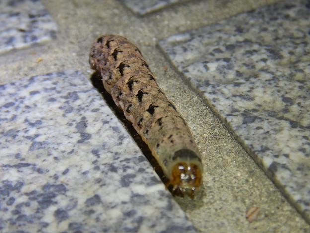 Photos: 地面を歩いてた強面のイモムシ - 5