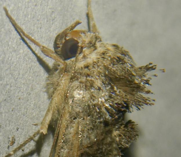 背中の毛が逆立ってた蛾(エゾギクキンウワバ?)- 2