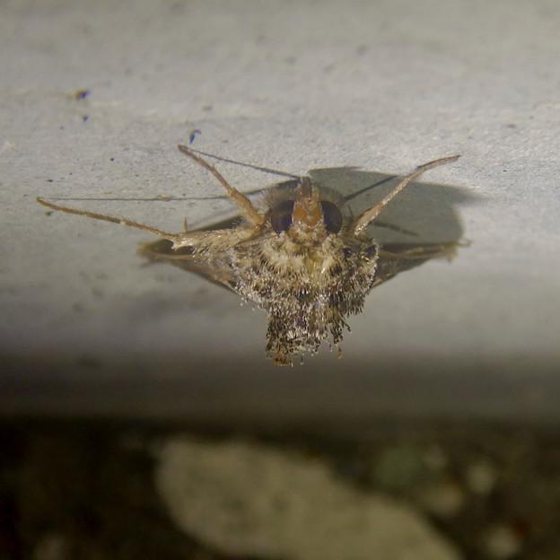 背中の毛が逆立ってた蛾(エゾギクキンウワバ?)- 3