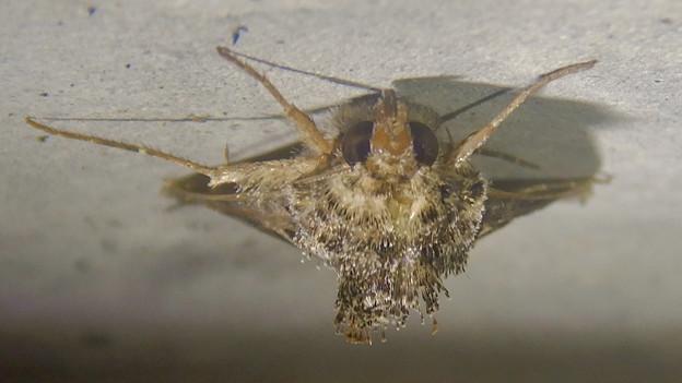 背中の毛が逆立ってた蛾(エゾギクキンウワバ?)- 5