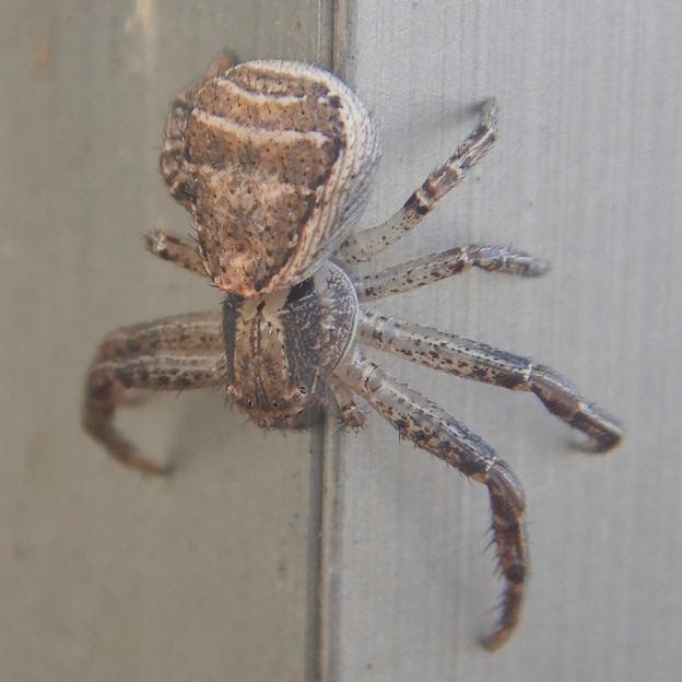 Photos: カニグモの一種? - 3