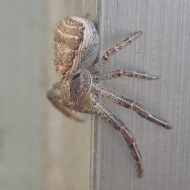 Photos: カニグモの一種? - 4