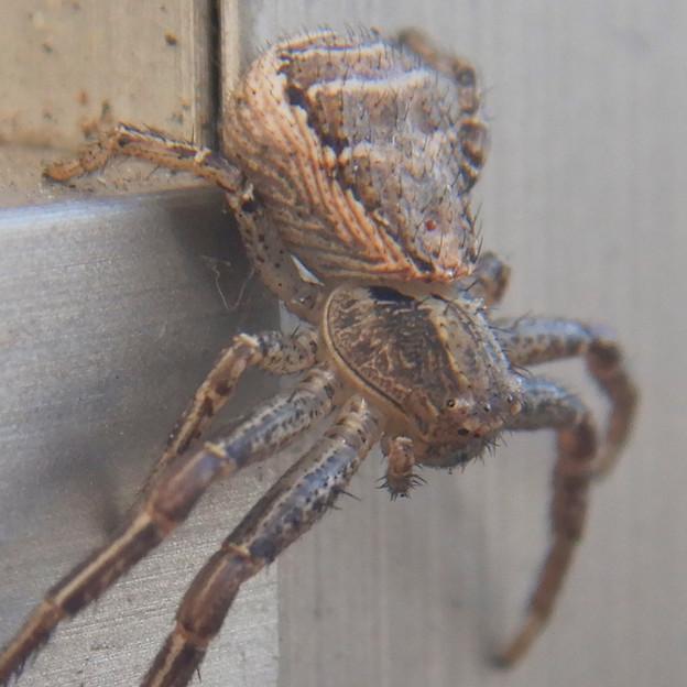 Photos: カニグモの一種? - 7