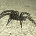 Photos: 黒くてまだらな蜘蛛 - 7