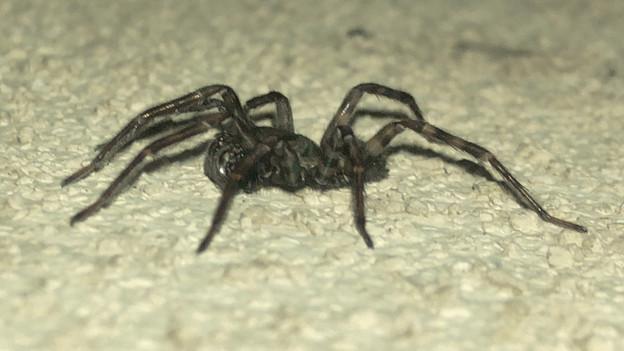Photos: 黒くてまだらな蜘蛛 - 10