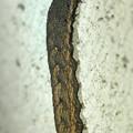 Photos: 壁を登ってたイモムシ - 1