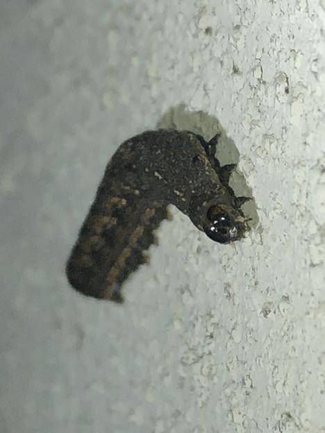 壁を登ってたイモムシ - 3