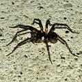 Photos: 黒くてまだらな蜘蛛 - 2