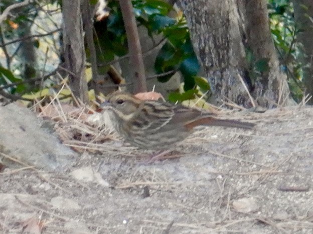 弥勒山山頂にいたスズメみたいな鳥 - 2