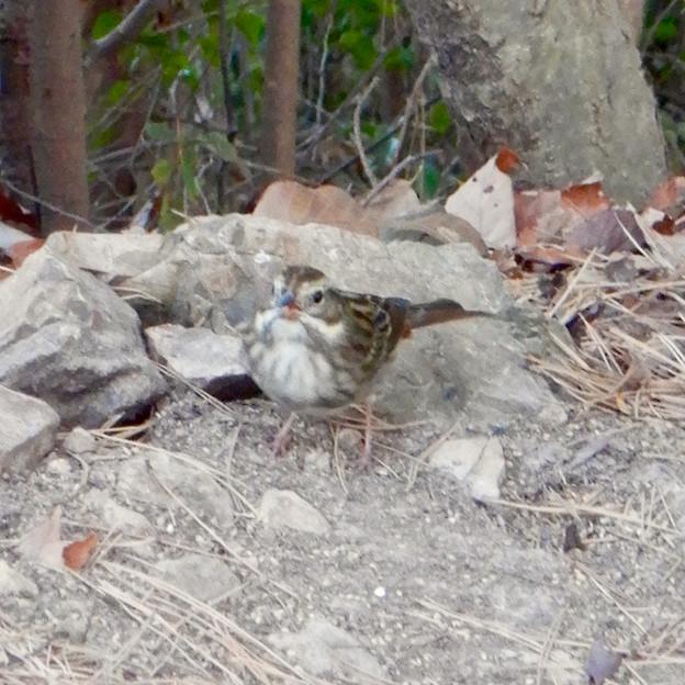 弥勒山山頂にいたスズメみたいな鳥 - 6