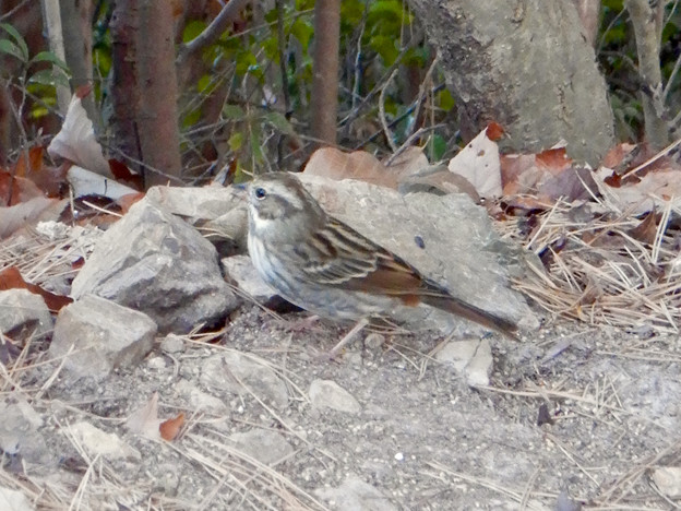 弥勒山山頂にいたスズメみたいな鳥 - 7