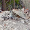 Photos: 弥勒山山頂にいたスズメみたいな鳥 - 7