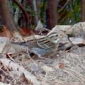 Photos: 弥勒山山頂にいたスズメみたいな鳥 - 8