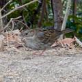 Photos: 弥勒山山頂にいたスズメみたいな鳥 - 11