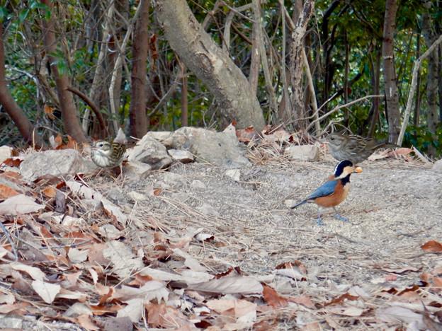弥勒山山頂にいたスズメみたいな鳥とヤマガラ