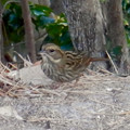 Photos: 弥勒山山頂にいたスズメみたいな鳥 - 4