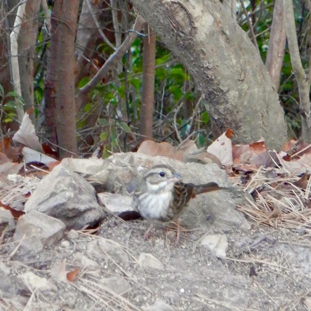 弥勒山山頂にいたスズメみたいな鳥 - 5