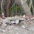 Photos: 弥勒山山頂にいたスズメみたいな鳥 - 5