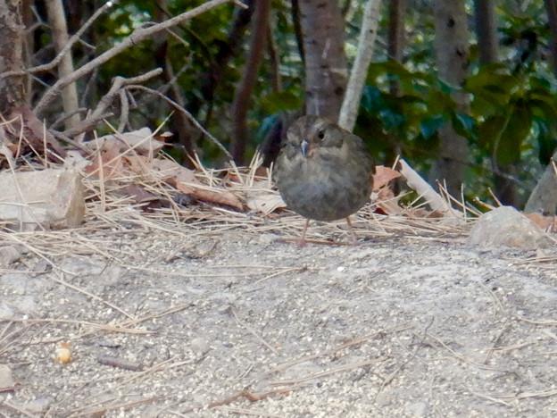 弥勒山山頂にいたスズメみたいな鳥 - 10