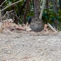 Photos: 弥勒山山頂にいたスズメみたいな鳥 - 10