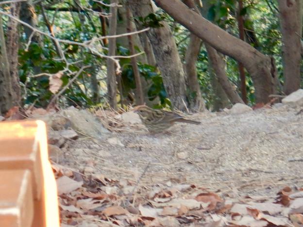 弥勒山山頂にいたスズメみたいな鳥 - 1