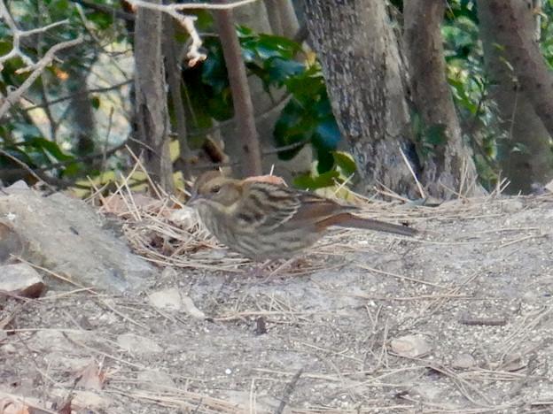 弥勒山山頂にいたスズメみたいな鳥 - 3