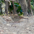 Photos: 弥勒山山頂にいたスズメみたいな鳥 - 3