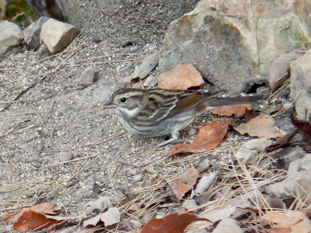 弥勒山山頂にいたスズメみたいな鳥 - 12