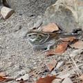 Photos: 弥勒山山頂にいたスズメみたいな鳥 - 12