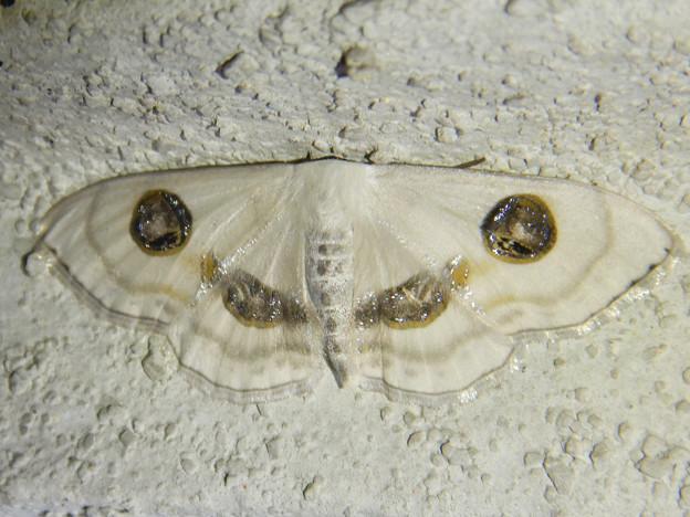 白い2つ目模様の蛾「ヒトツメオオシロヒメシャク」 - 3