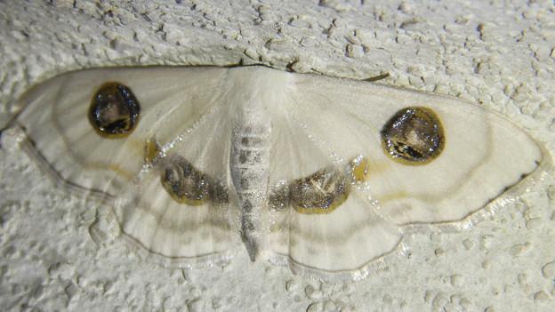 白い2つ目模様の蛾「ヒトツメオオシロヒメシャク」 - 5