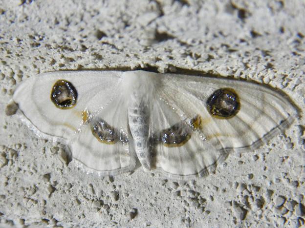 白い2つ目模様の蛾「ヒトツメオオシロヒメシャク」 - 2