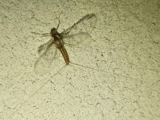 尾が長い小さな羽虫 - 4